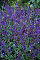 May Night Sage (Salvia x sylvestris 'May Night') at Hicks Nurseries