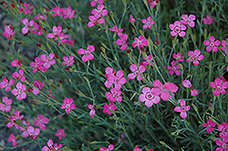 Maiden Pinks (Dianthus deltoides) at Hicks Nurseries