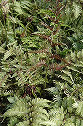 Japanese Painted Fern (Athyrium nipponicum 'Metallicum') at Hicks Nurseries