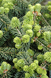 Dwarf Balsam Fir (Abies balsamea 'Nana') at Hicks Nurseries