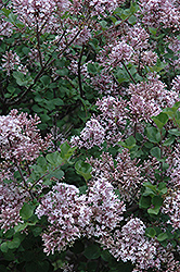 Dwarf Korean Lilac (Syringa meyeri 'Palibin') at Hicks Nurseries