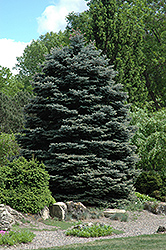 Fat Albert Blue Spruce (Picea pungens 'Fat Albert') at Hicks Nurseries
