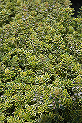 Lemon Thyme (Thymus x citriodorus) at Hicks Nurseries