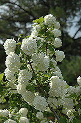 Snowball Viburnum (Viburnum opulus 'Roseum') at Hicks Nurseries