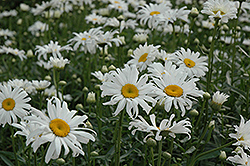 Shasta Daisy (Leucanthemum x superbum) at Hicks Nurseries