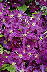 Jackmanii Superba Clematis (Clematis x jackmanii 'Superba') at Hicks Nurseries