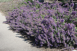 Walker's Low Catmint (Nepeta x faassenii 'Walker's Low') at Hicks Nurseries
