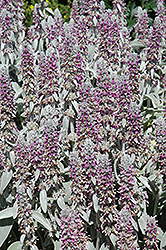 Lamb's Ears (Stachys byzantina) at Hicks Nurseries