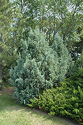 Wichita Blue Juniper (Juniperus scopulorum 'Wichita Blue') at Hicks Nurseries