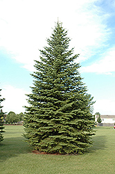 Colorado Spruce (Picea pungens) at Hicks Nurseries