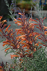 Sunset Hyssop (Agastache rupestris) at Hicks Nurseries