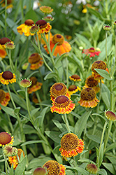 Mardi Gras Sneezeweed (Helenium 'Mardi Gras') at Hicks Nurseries