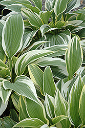 White-Variegated Hosta (Hosta fortunei 'Albomarginata') at Hicks Nurseries