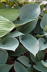 Halcyon Hosta (Hosta 'Halcyon') at Hicks Nurseries