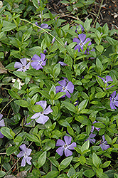 Common Periwinkle (Vinca minor) at Hicks Nurseries