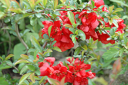 Texas Scarlet Flowering Quince (Chaenomeles speciosa 'Texas Scarlet') at Hicks Nurseries