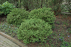 Wintergreen Boxwood (Buxus microphylla 'Wintergreen') at Hicks Nurseries