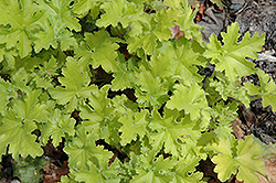Key Lime Pie Coral Bells (Heuchera 'Key Lime Pie') at Hicks Nurseries