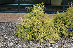 Sungold Falsecypress (Chamaecyparis pisifera 'Sungold') at Hicks Nurseries