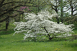 White Cloud Flowering Dogwood (Cornus florida 'White Cloud') at Hicks Nurseries