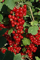 Red Lake Red Currant (Ribes sativum 'Red Lake') at Hicks Nurseries
