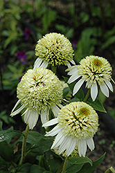 Coconut Lime Coneflower (Echinacea 'Coconut Lime') at Hicks Nurseries