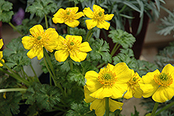 Dwarf Globeflower (Trollius pumilus) at Hicks Nurseries