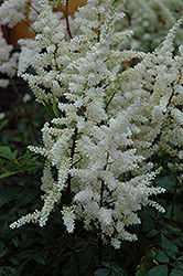 Bumalda Astilbe (Astilbe x arendsii 'Bumalda') at Hicks Nurseries