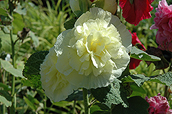 Chater's Double Yellow Hollyhock (Alcea rosea 'Chater's Double Yellow') at Hicks Nurseries