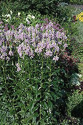 Obedient Plant (Physostegia virginiana) at Hicks Nurseries