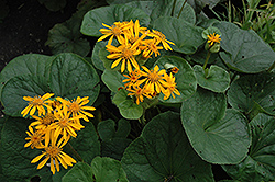 Desdemona Rayflower (Ligularia dentata 'Desdemona') at Hicks Nurseries