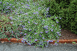 Blue Mist Caryopteris (Caryopteris x clandonensis 'Blue Mist') at Hicks Nurseries
