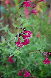 Raspberry Royal Sage (Salvia greggii 'Raspberry Royal') at Hicks Nurseries