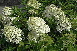 Little Lamb Hydrangea (Hydrangea paniculata 'Little Lamb') at Hicks Nurseries