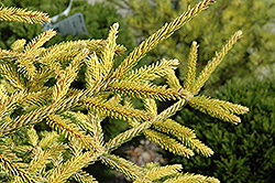 Skylands Golden Spruce (Picea orientalis 'Skylands') at Hicks Nurseries