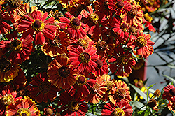 Helena Mix Sneezeweed (Helenium 'Helena Mix') at Hicks Nurseries