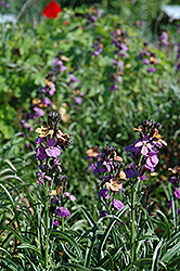 Jenny Brook Wallflower (Erysimum 'Jenny Brook') at Hicks Nurseries