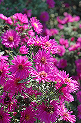 Alert Aster (Aster novi-belgii 'Alert') at Hicks Nurseries