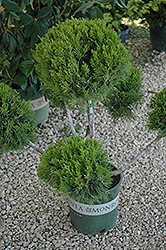 Mint Julep Juniper (pom pom) (Juniperus chinensis 'Mint Julep (pom pom)') at Hicks Nurseries