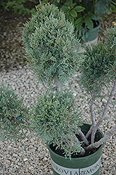 Hetz Blue Juniper (pom pom) (Juniperus chinensis 'Hetz Blue (pom pom)') at Hicks Nurseries