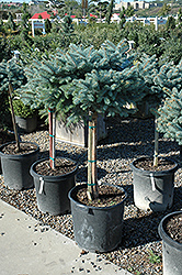Globe Blue Spruce (tree form) (Picea pungens 'Globosa (tree form)') at Hicks Nurseries