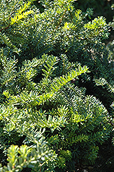 Emerald Spreader Yew (Taxus cuspidata 'Emerald Spreader') at Hicks Nurseries