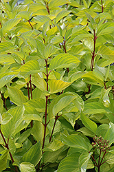 Prairie Fire Dogwood (Cornus alba 'Prairie Fire') at Hicks Nurseries