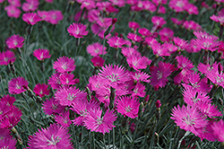 Firewitch Pinks (Dianthus gratianopolitanus 'Firewitch') at Hicks Nurseries