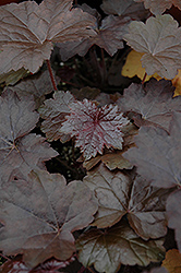 Blackout Coral Bells (Heuchera 'Blackout') at Hicks Nurseries