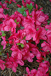 Mother's Day Azalea (Rhododendron 'Mother's Day') at Hicks Nurseries