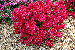 Hershey's Red Azalea (Rhododendron 'Hershey's Red') at Hicks Nurseries