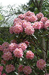 Scintillation Rhododendron (Rhododendron 'Scintillation') at Hicks Nurseries