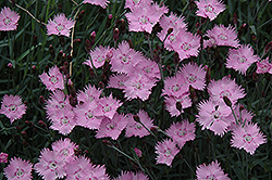 Bath's Pink Pinks (Dianthus 'Bath's Pink') at Hicks Nurseries