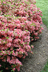 Blaauw's Pink Azalea (Rhododendron 'Blaauw's Pink') at Hicks Nurseries